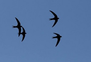 swift-flock1